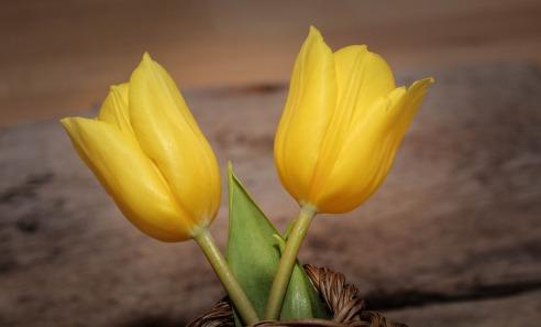tulips-709601_1280